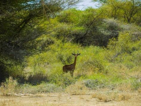 Gerenuk aka swala twiga