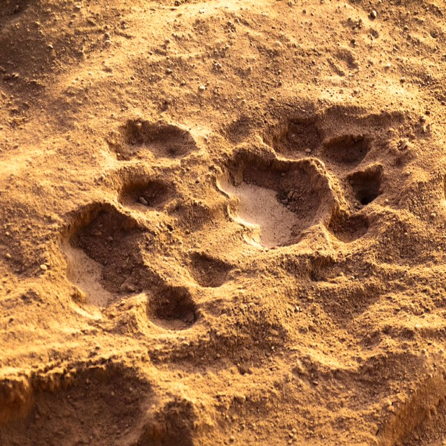 Lion spoor