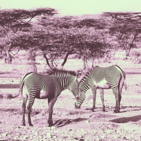 psychedelic Grevy's zebra. Grevy also unlike the more common zebra with thicker stripes